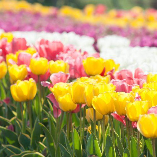 ~春の訪れ~チューリップ祭りの開催です!